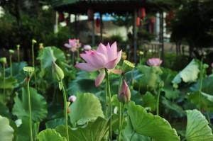 pink-lotus-853682_960_720
